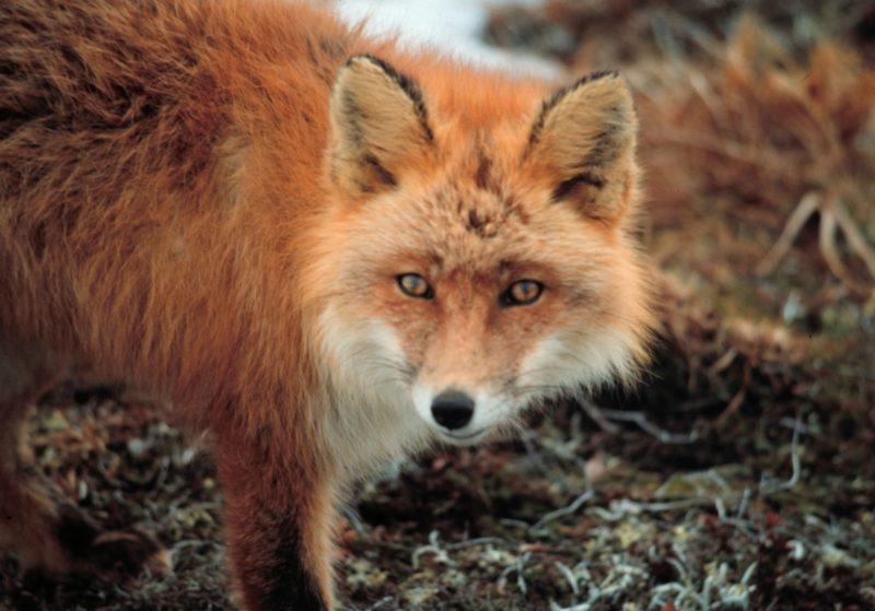 Informacja prasowa oprzeprowadzanej naterenie województwa śląskiego jesiennej akcji szczepienia lisów wolno żyjących w2019 roku.